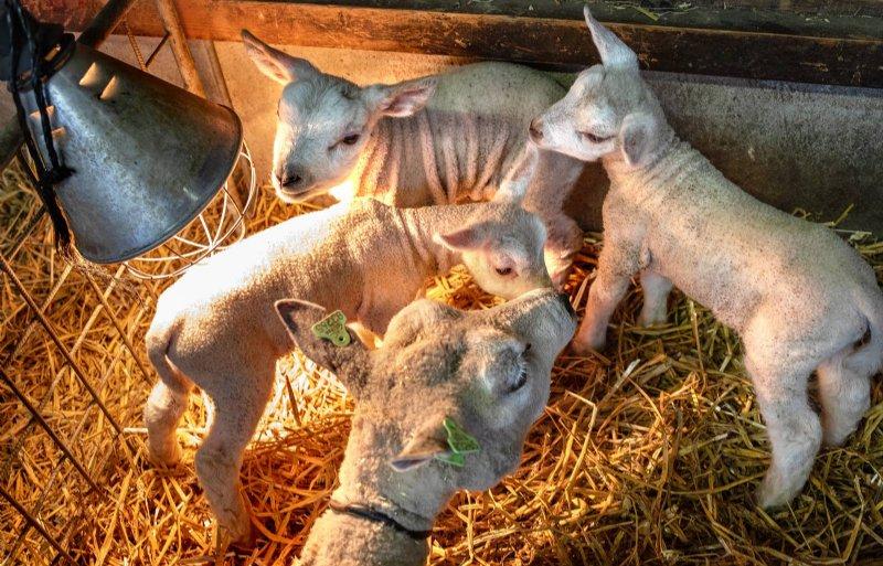 De schapenhouderij is kleinschalig.
