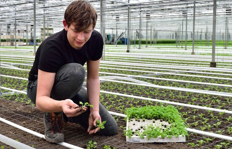 Het steksteken van Euphorbia fulgens begint in maart.