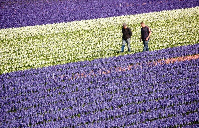 Archief Het gewasspecifieke deel van de PT-heffing vervalt voor bloembollenkwekers. Foto: Nieuwe Oogst