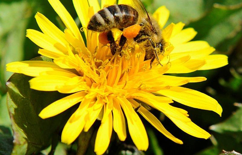 Bijen vliegen niet op tulpen, hyacinten en narcissen.