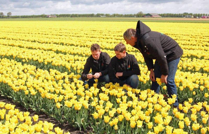 Klaas, Simon en Klaas sr. (vlnr) inspecteren de tulpen die nog gekopt moeten worden.