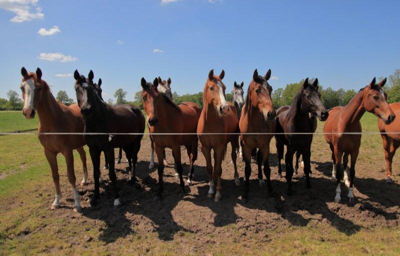 Jaarlijks staan zo'n zestig paarden in de opfok.