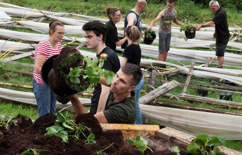 Ko den Haan ruimt de aardbeienplanten op na de windhoos en hagelbui.  Foto William Hoogteyling