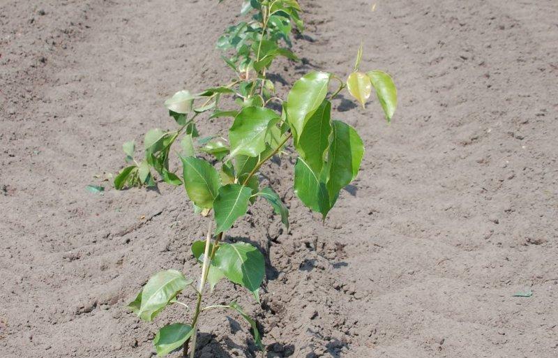 Druppelirrigatie voorkomt bladschade.