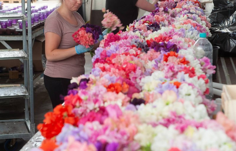 De kwekerij heeft 22 kleuren lathyrus in het assortiment.