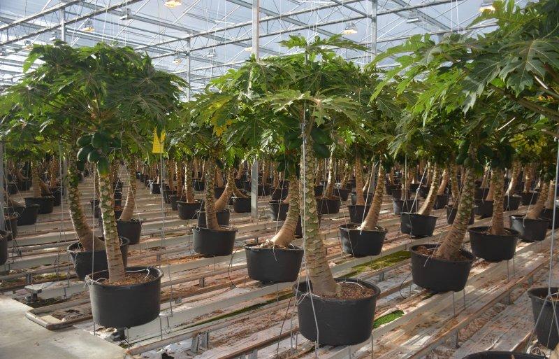De papajabomen gaan vooral de hoogte in en leveren per boom jaarrond één tot twee vruchten per week op.