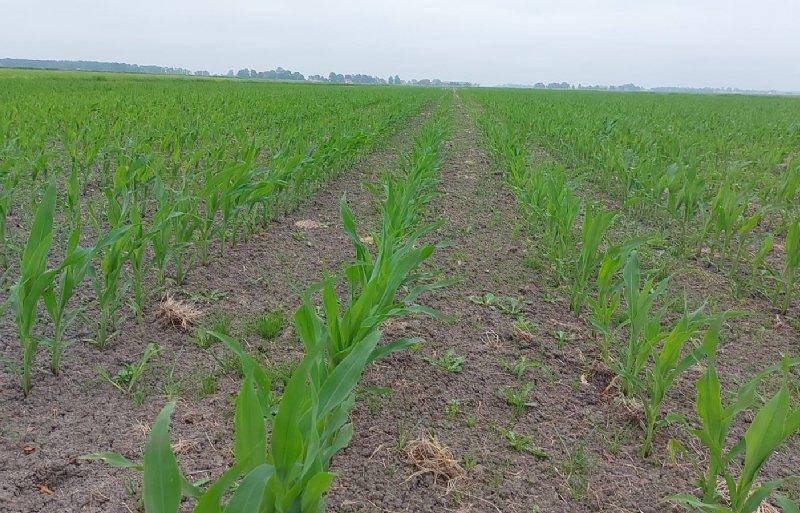 De mais van Roelof de Jong is door het natte voorjaar laat gezaaid en kan nog wat groei gebruiken.
