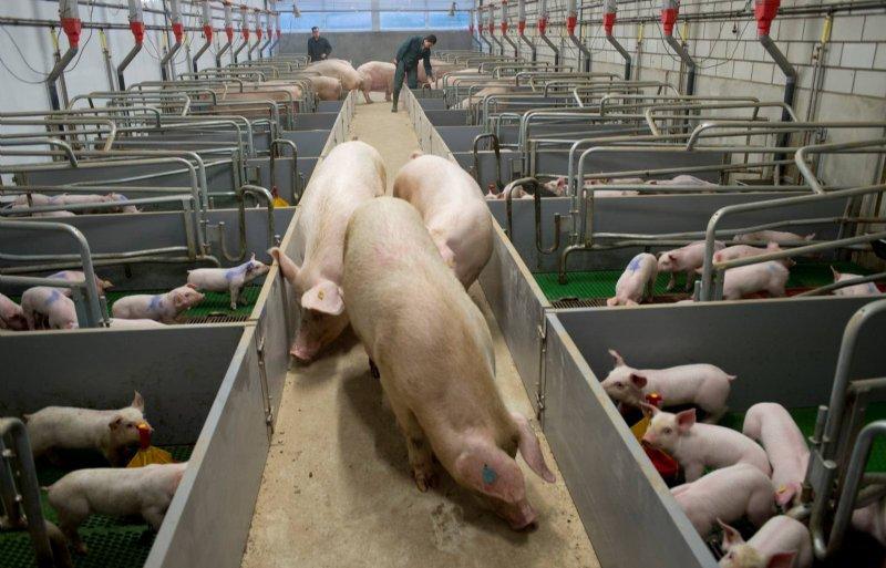 Met een krimp neemt het maatschappelijk draagvlak voor de varkenshouderij wellicht weer toe.