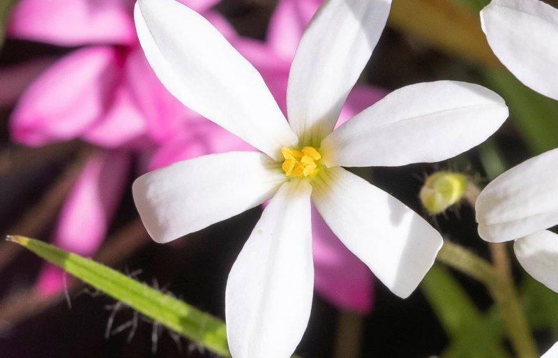 Een succesvolle kruising is rhodoxis 'White Ria'.