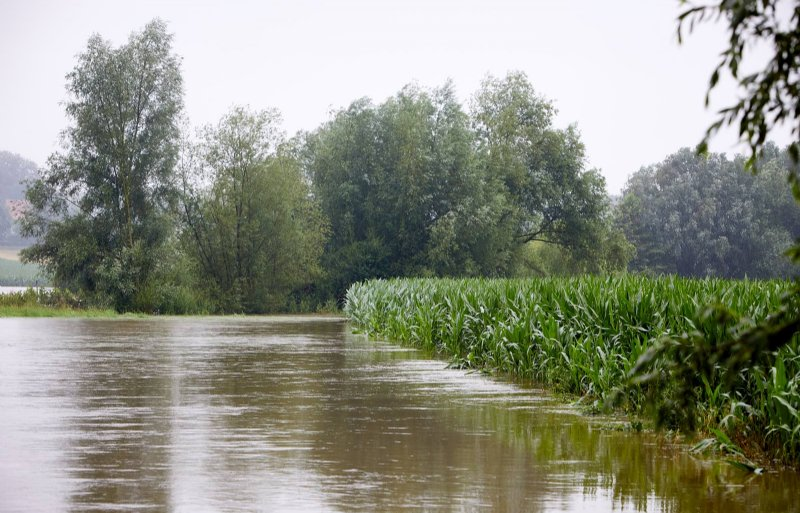 De schade aan gewassen, zoals dit maisgewas in Zuid-Limburg, is gigantisch.