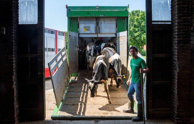 Het geëvacueerde vee van Harm Peeters is weer in Kessel.