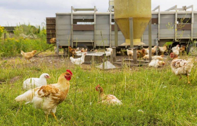 Vier keer per jaar worden er 250 kippen geslacht.