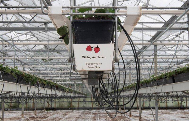 De aardbeien groeien onder glas op hangende goten.