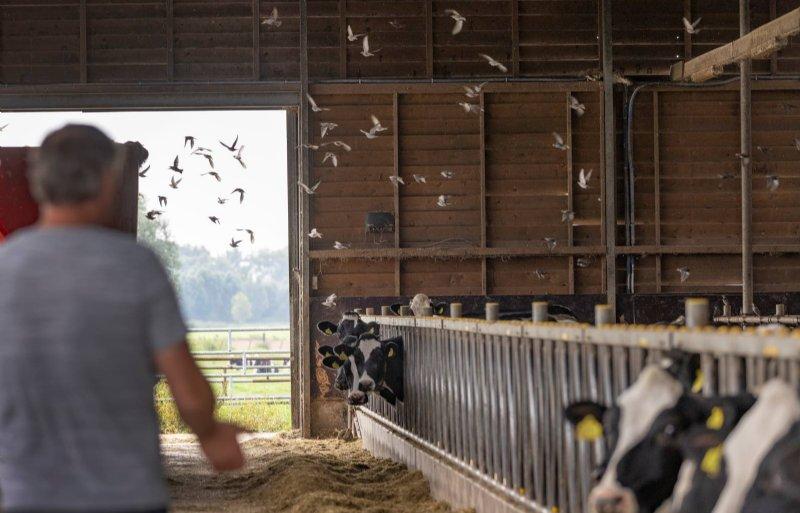 Melkvee levert 95 procent van het inkomen op.