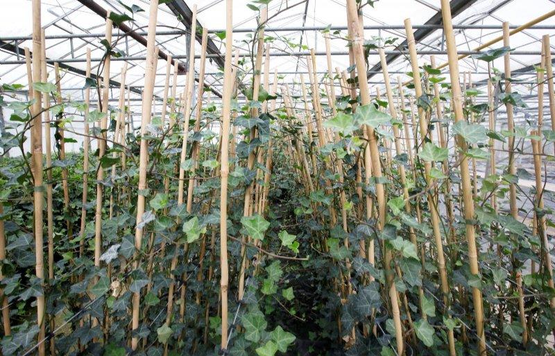 De kwekerij heeft hederaplanten in verschillende maten.
