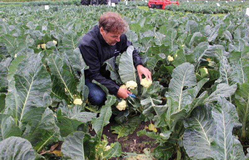 Hoofdveredelaar Sjaak van der Ploeg laat het nieuwe bloemkoolgewas zien met de kenmerkende kleine roosjes en de lange stelen.