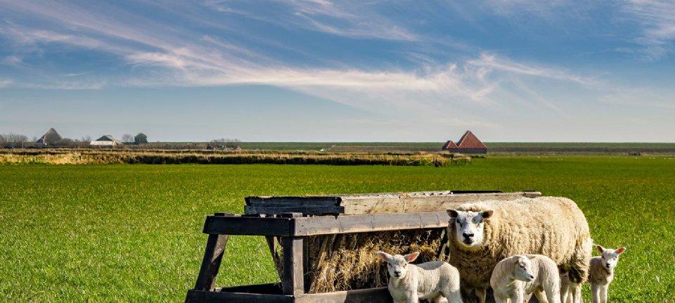 Boeren Texel gaan lamsvlees promoten - Nieuwe Oogst